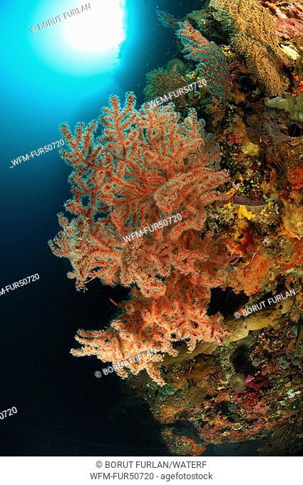 Orange Gorgonia, Echinomuricea spec., Alor, Lesser Sunda Islands, Indo-Pacific, Indonesia