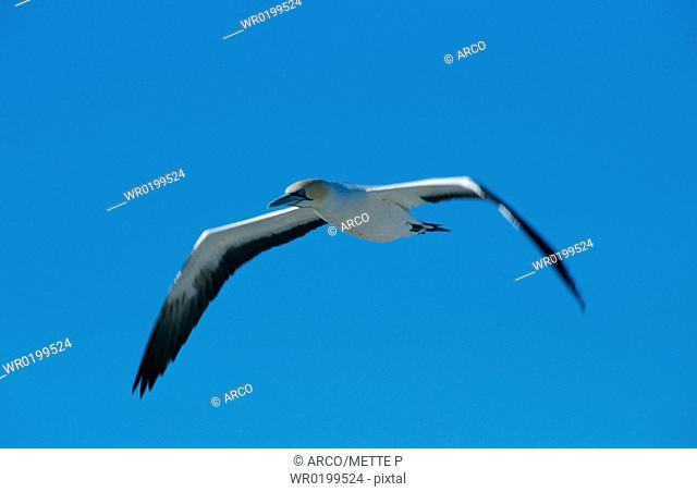 Cape, Gannet, Western, Cape, South-Africa,Sula, capensis, Morus, capensis