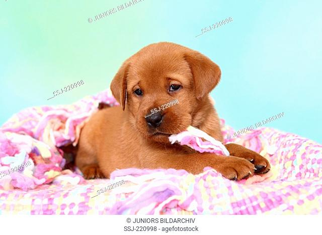 Labrador Retriever. Puppy (5 weeks old) lying on a multicolored blanket. Germany. Studio picture seen against a turquoise background