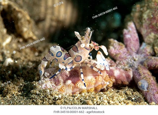 Harlequin Shrimp Hymenocera elegans adult, feeding on starfish, Ambon Island, Maluku Islands, Banda Sea, Indonesia