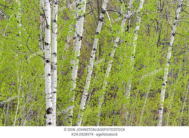 Early bring aspen woodlot with emerging foliage, Greater Sudbury, Ontario, Canada