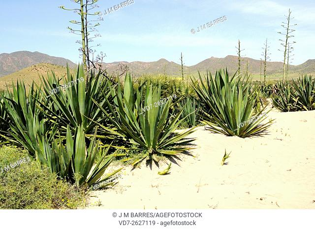 Sisal (Agave sisalana) yields a stiff fibre used in making various products. Is native to southern Mexico but widely cultivated and naturalized in others...