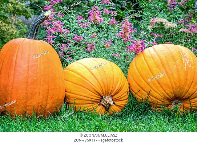 three pumpkins on grass in backyard with purple flowers in background
