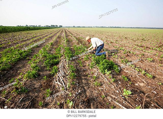 Glyphosate resistant horseweed (marestail) growing uncontrolled in Roundup ready cotton after a postemergence application of Roundup; England, Arkansas