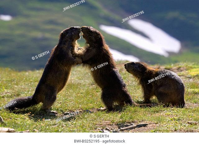 alpine marmot Marmota marmota, two animals fighting in a mountain meadow, Austria, Hohe Tauern National Park, Grossglockner