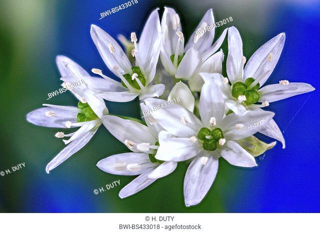 ramsons, buckrams, wild garlic, broad-leaved garlic, wood garlic, bear leek, bear's garlic (Allium ursinum), inflorescence, Germany