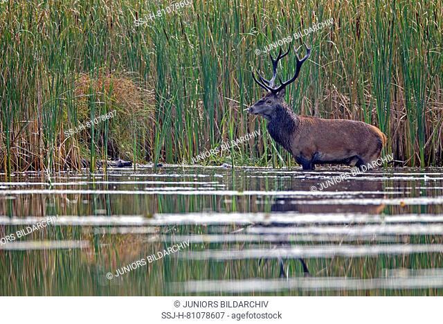 Red Deer (Cervus elaphus). Stag standing in water in front of reed. Saxony, Germany