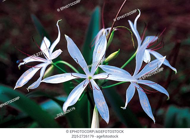 Crinum sp. Family: Amaryllidaceae. A plant with an underground bulb. The flowers are short-lived and are produced at the beginning of the monsoon