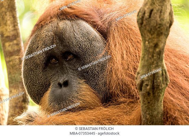 Male orangutan in the in indonesian jungle