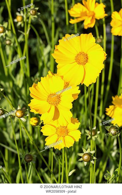 Coreopsis lanceolata, Shasta daisy, Lance-leaved
