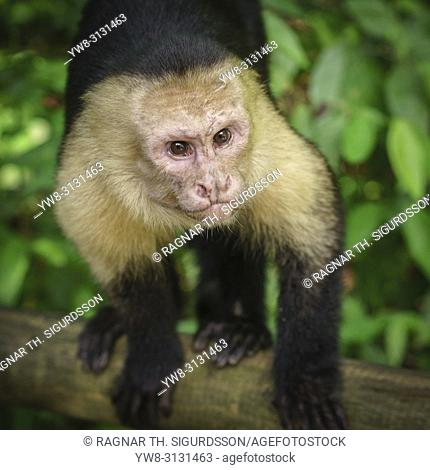 White-Throated Capuchin, Costa Rica