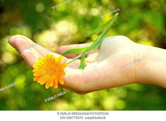 Marigolds Calendula officinalis