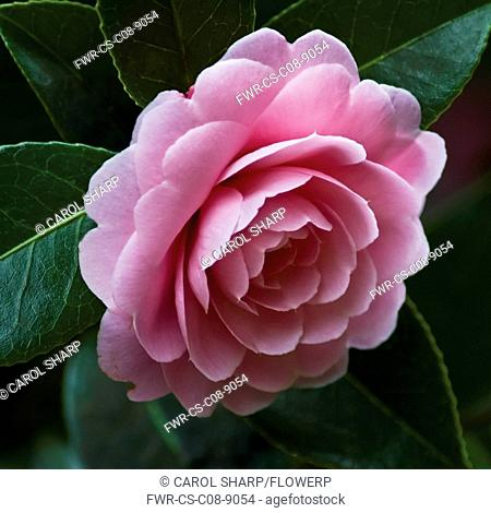 Camellia, Camellia x williamsii 'Monica Dance'