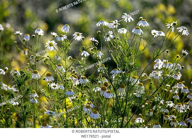 Blooming daisy flowers on a green grass. Meadow with flowers. Daisies is small European grassland plant which has flowers with a yellow disc and white rays