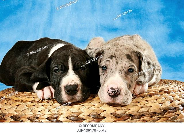 two young Great Danes - lying