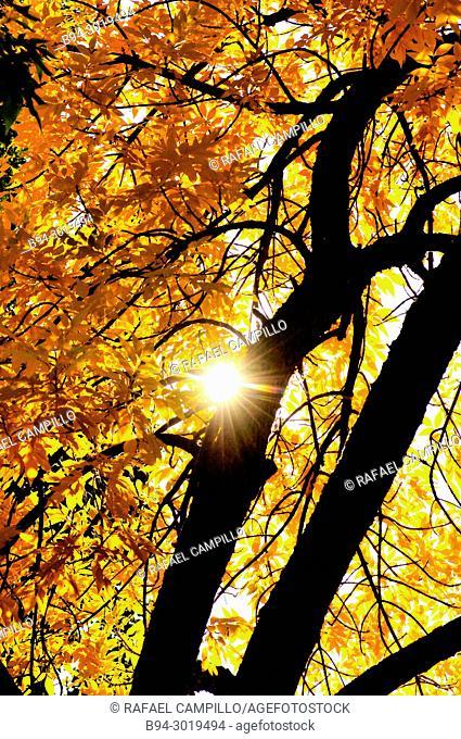 Trees in autumn. La Seu d'Urgell. Lleida, Catalonia. Spain