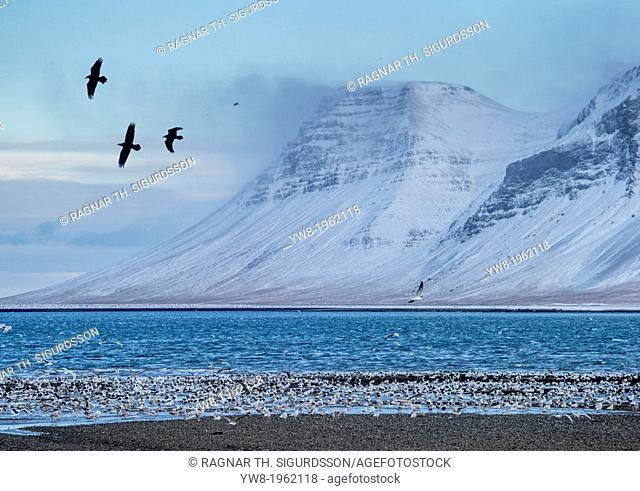 Flock of Seagulls, Winter time, Kolgrafarfjordur, Snaefellsnes Peninsula, Iceland