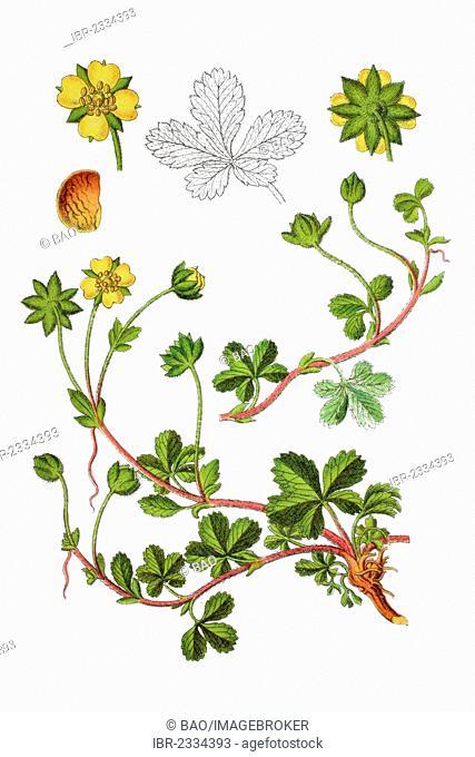 Creeping cinquefoil (Potentilla reptans), medicinal plant, historical chromolithography, 1796