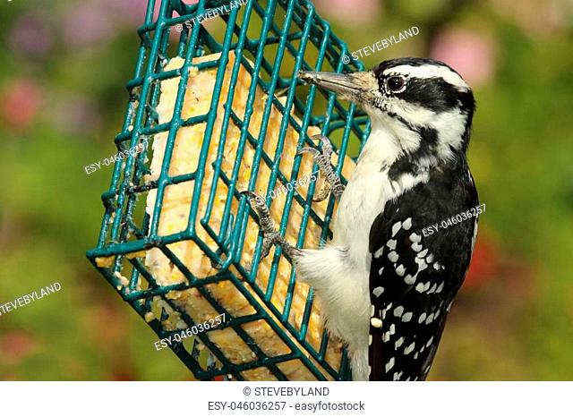Female Hairy Woodpecker (Picoides villosus) on a feeder with a green background