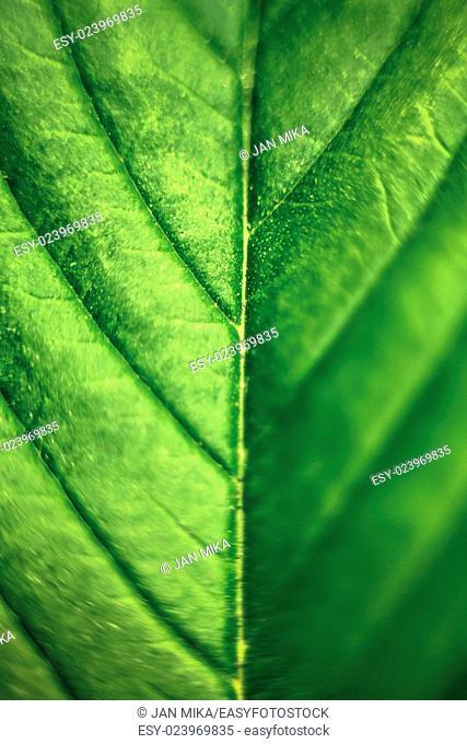 Macro of green Cannabis leaf