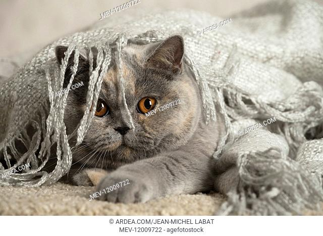 Grey British cat indoors