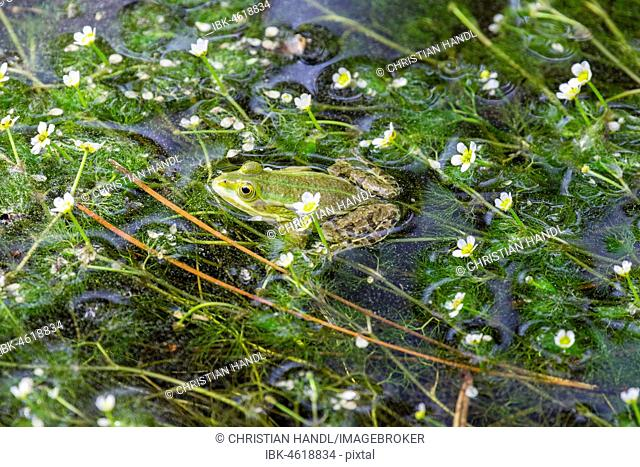 Green frog (Rana esculenta) between flowering aquatic plants, River water crowfoot (Ranunculus fluitans), Veneto, Italy