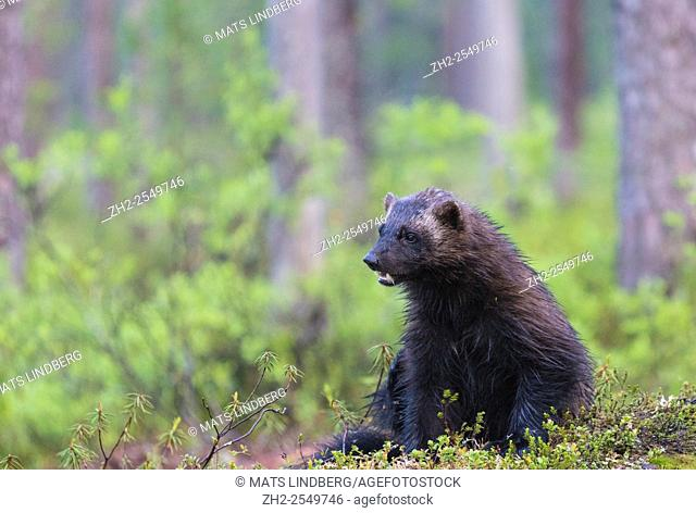 Wolverine, Gulo gulo, sitting down in the forest and showing his teeth, Kuhmo, Finland