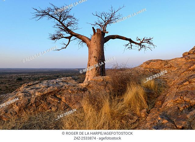 Stunted baobab, dead-rat tree (from the appearance of the fruits), monkey-bread tree upside-down tree or cream of tartar tree (Adansonia digitata)