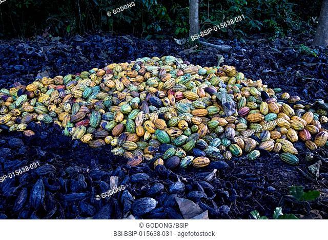Ivory Coast. Cocoa harvest