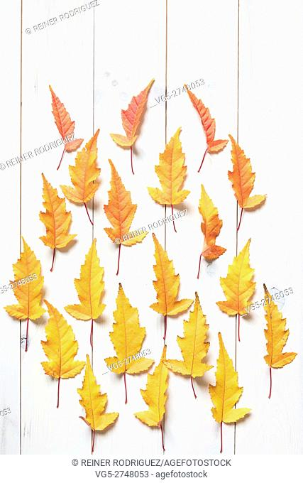 colorful maple leafs. color gradient from yellow to red