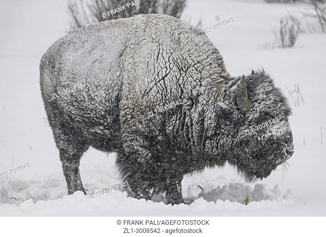 American Bison in heavy snow in Yellowstone National Park