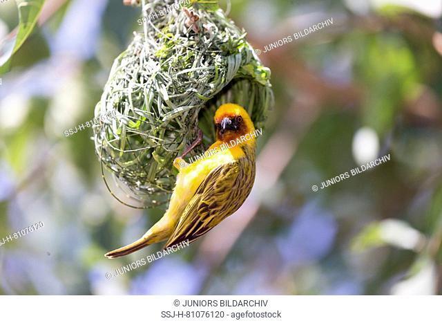 Village Weaver (Ploceus cucullatus), male building nest. Ethiopia