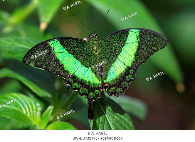 Emerald Swallowtail, Emerald Peacock, Green-banded Peacock (Papilio palinurus), sitting on a leaf, view from above