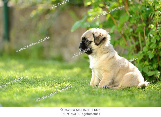 Chug (Chihuahua and pug mix) dog puppy on a meadow