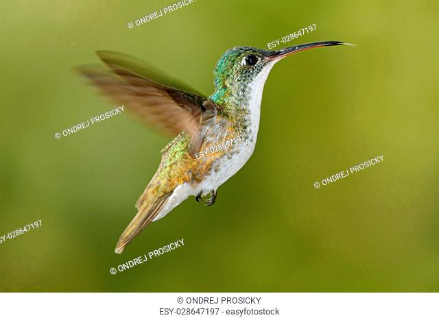 Flying glossy hummingbird from Ecuador, clear green background
