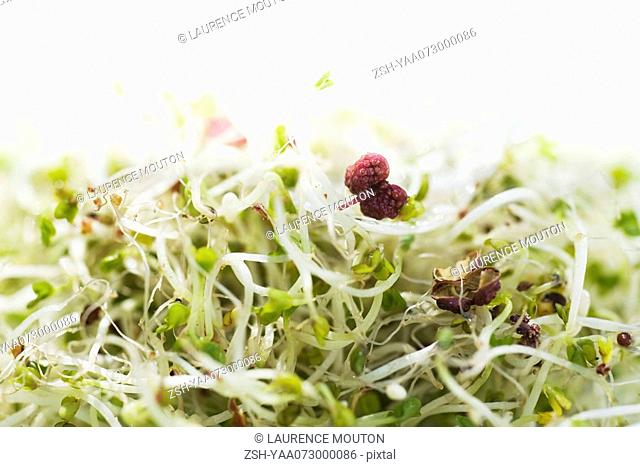 Alfalfa sprouts, close-up