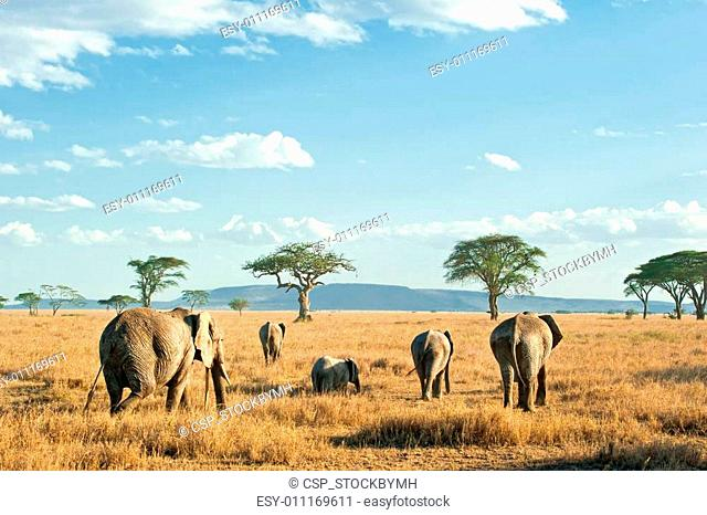 Herd of Elephants in the dry plains of Serengeti, Tanzania