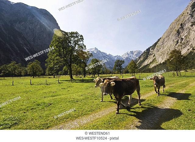 Austria, Karwendel, Cows on path