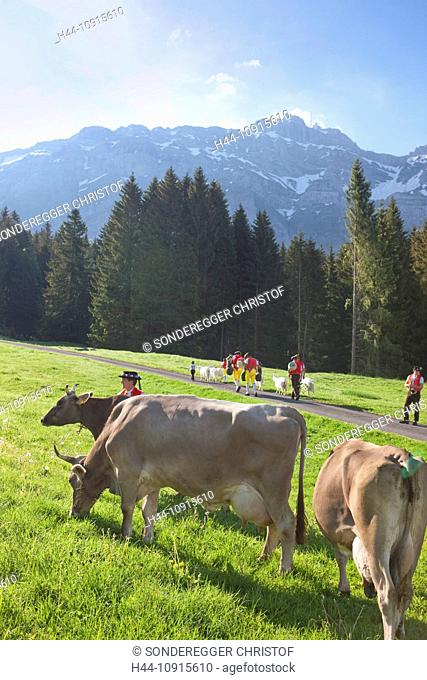 Tradition, folklore, national costumes, cow, cows, agriculture, animals, animal, national costumes, national costume party, canton Appenzell, Switzerland