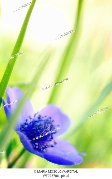 Blue Anemone Poppy Flower. Anemone coronaria. April 2007, Maryland, USA