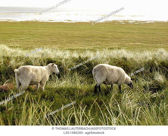 Sheep graze on the beach, Sylt, Germany