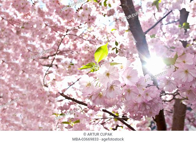 Japanese flowering cherry, flowering branches, backlit
