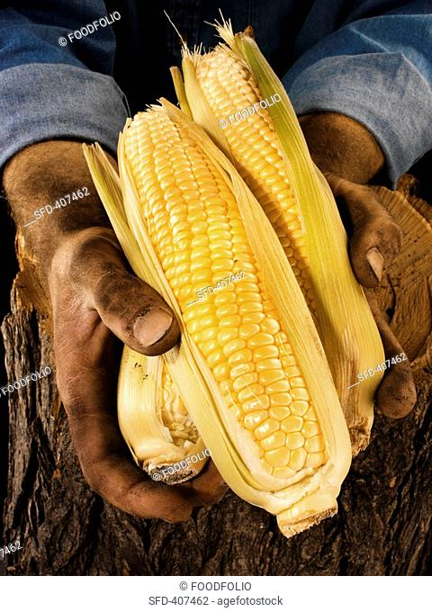 Man holding three corn cobs in both hands over a tree trunk