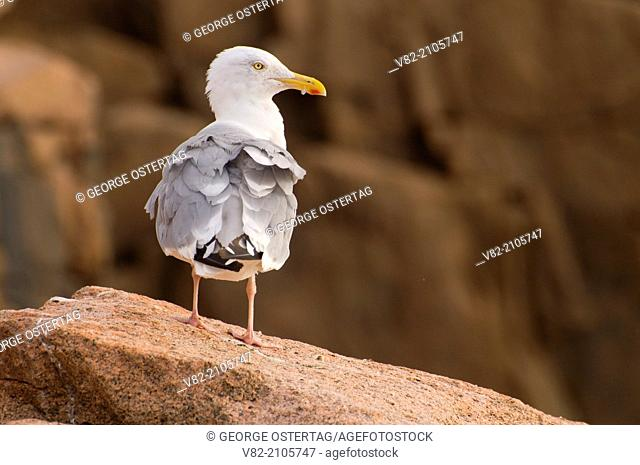 Gull from Ocean Path, Acadia National Park, Maine