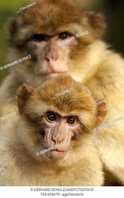 Barbary Macaque with Young (Macaca sylvana)