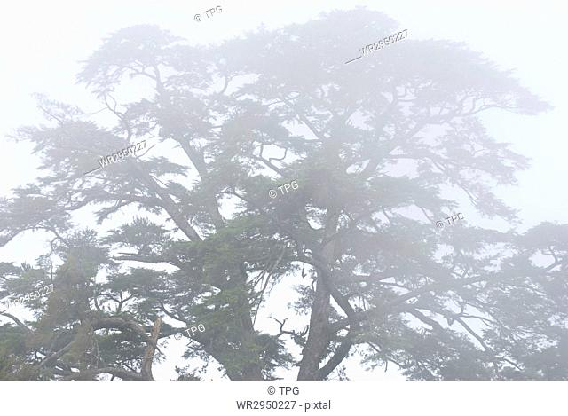 pine tree in the forest with fog, natural woodland