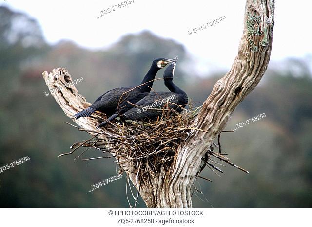 Great Cormorant, Phalacrocorax carbo, at Periyar, Kerela