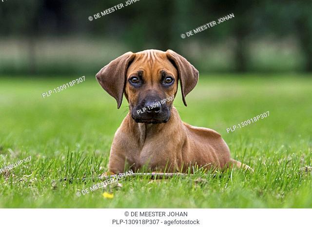 Rhodesian Ridgeback / African Lion Hound (Canis lupus familiaris) pup in garden