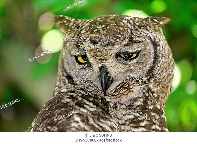Spotted Eagle Owl, (Bubo africanus), adult portrait, Western Cape, South Africa, Africa