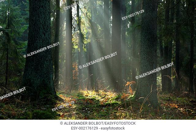Misty autumnal coniferous stand of Bialowieza Forest at sunrise with old spruces in foreground, Podlasie Province, Poland